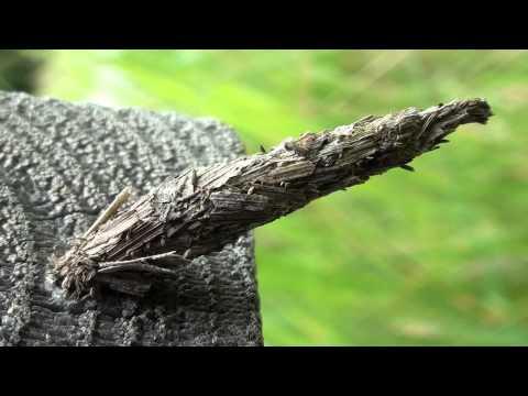 Bagworm Moth Larva (Psychidae: Thyridopteryx?)