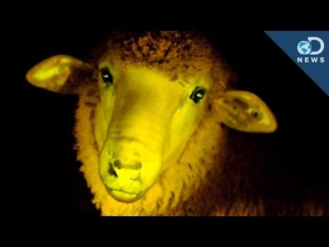 Science Creates Glowing Kittens, Monkeys and Sheep!