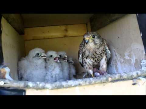 kestrels nesting