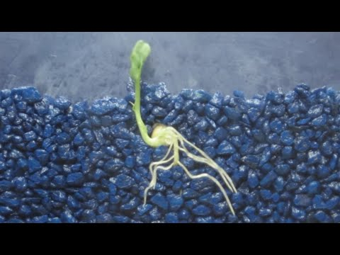 Time Lapse of Pea Shoot / Root Growth