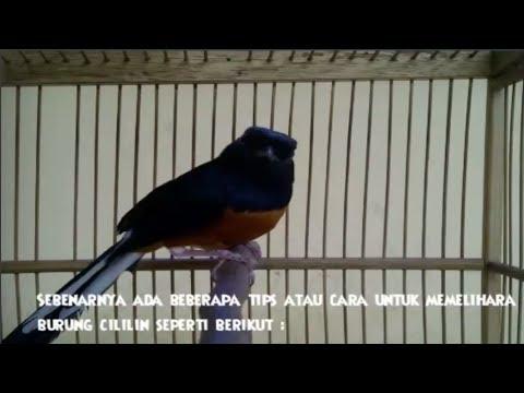 Suara Kicauan Cililin Gacor Serta Tips Merawat Burung Cililin video