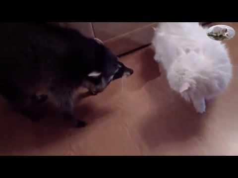 енот семён и коты