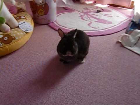 Moko Netherland Dwarf Bunny Rabbit #1