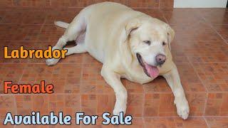Labrador Adult Female For Sale | लैब्राडोर फीमेल फोर साले | SCOOBERS |BHOLA SHOLA | GWALIOR PET SHOP