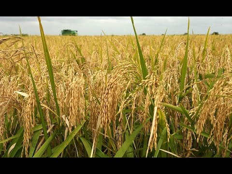 Rice Farming Is Most Profitable In Nigeria Today - Akinwunmi Part1