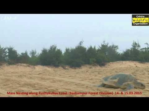 Olive Ridley turtles mass nesting 15 03 2015