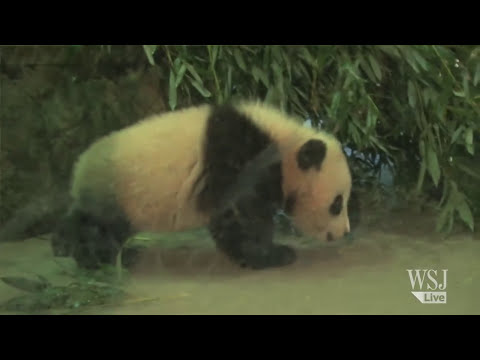 Baby Panda Bao Bao Melting Hearts at National Zoo