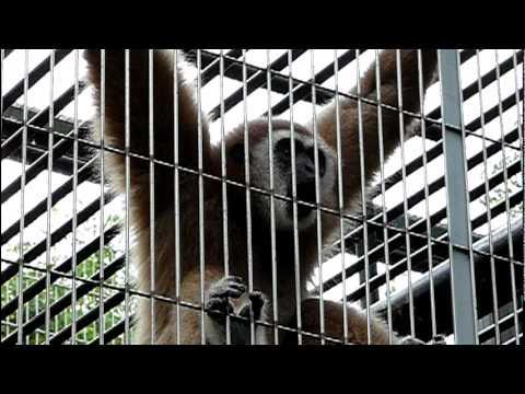 シロテテナガザル(鳴き声)White-handed Gibbon.(crying)