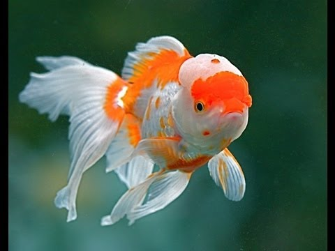 Золотая рыбка. Рассказ о происхождении. Виды золотых рыбок. (часть 1).