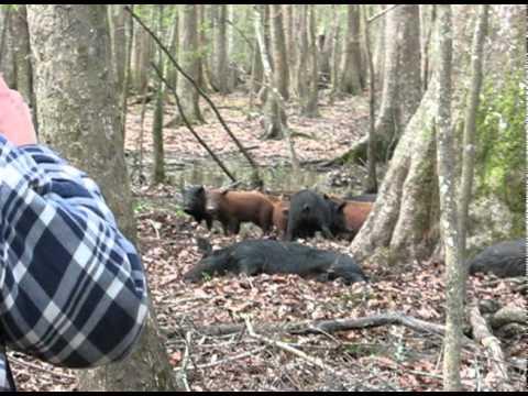 Hog hunt savannah nwr ga youtube for Georgia out of state fishing license
