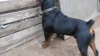 Rottweiler Bronco de 1 año.wmv