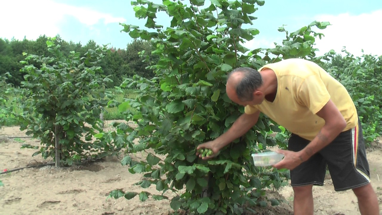 Лещина выращивание в саду 82