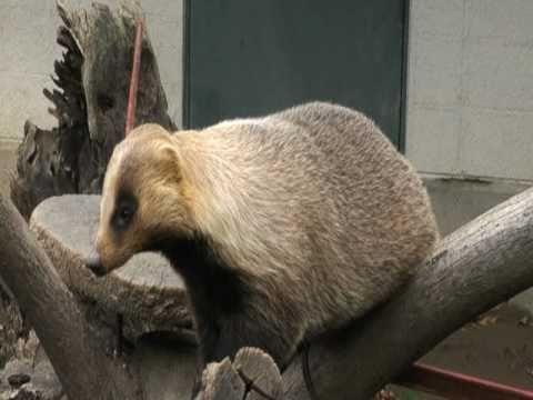 ニホンアナグマ(長野市 茶臼山動物園)