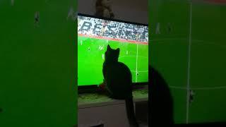 Yumoş cat watching football game