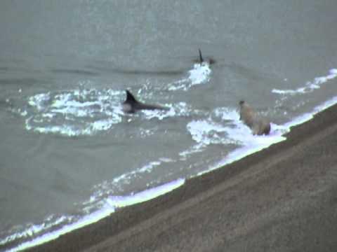 Elefante marino vs. Orcas en Argentina