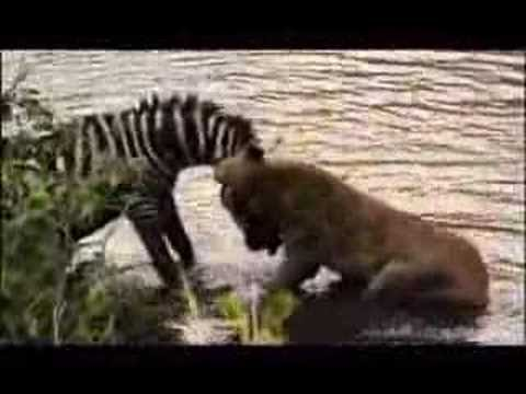 Zebra Vs. Lion