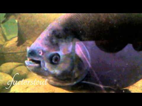 Big Pacu Freshwater Aquarium Fish - Colossoma - Large PaKu - Feeding ...
