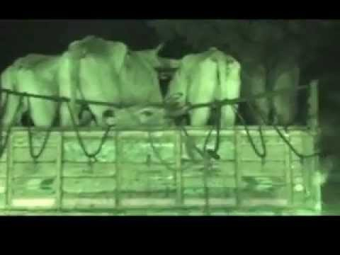 Their Last Journey- Cattle Trafficking To Kerala - Tamil.mp4 video