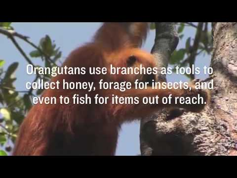 RAN Fast Facts - Orangutans & Tools