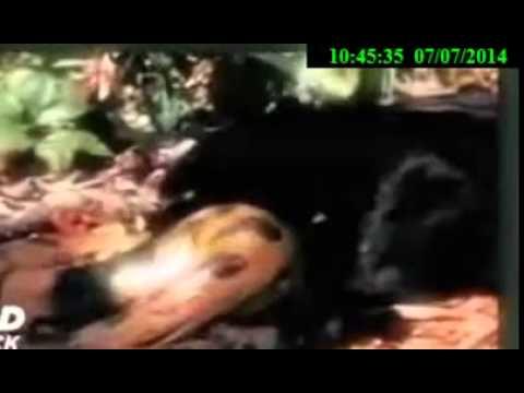 Jaguar Anaconda fight to death,Jaguar kill Anaconda cruelly _ Jaguar smart kille