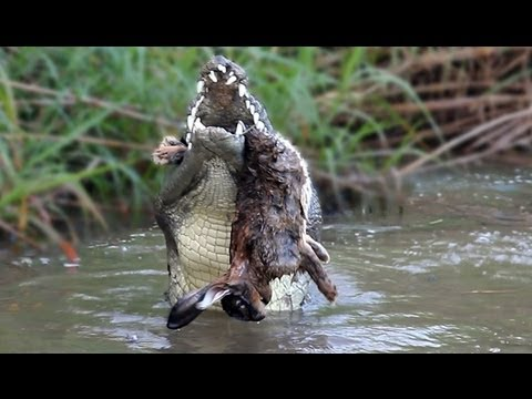 Crocodile Attack 01, Crocodile eats Rabbit