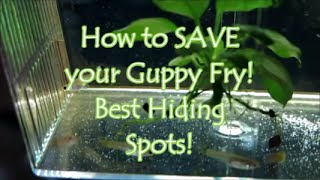 How to SAVE your Guppy Fry! Best Hiding Spots.