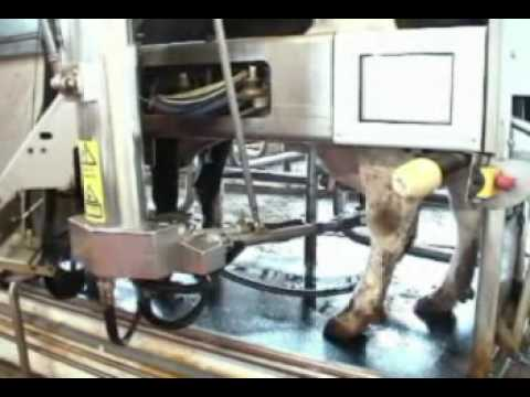 VMS Robot Milking Cows