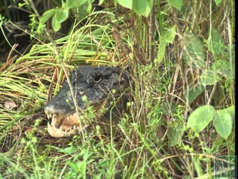 Living with Alligators - Texas Parks and Wildlife [Official]