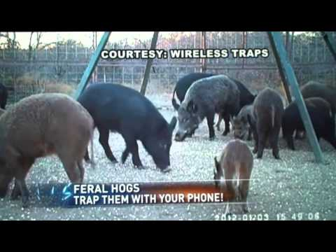 catching-hogs-with-your-iphone-and-wireless-traps-system.html