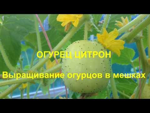 Цитрон огурец выращивание 40