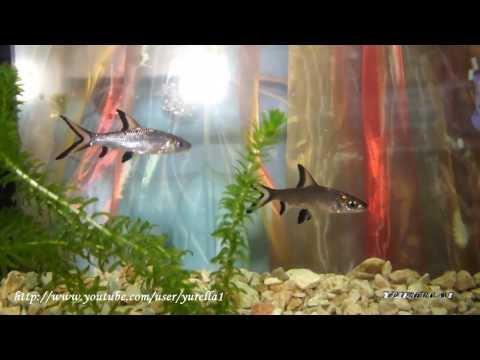 Акулий балу, акулий бала, акулий барбус, акулий балантиохейлус, балантиохейлус черноперый, трехцветная акула