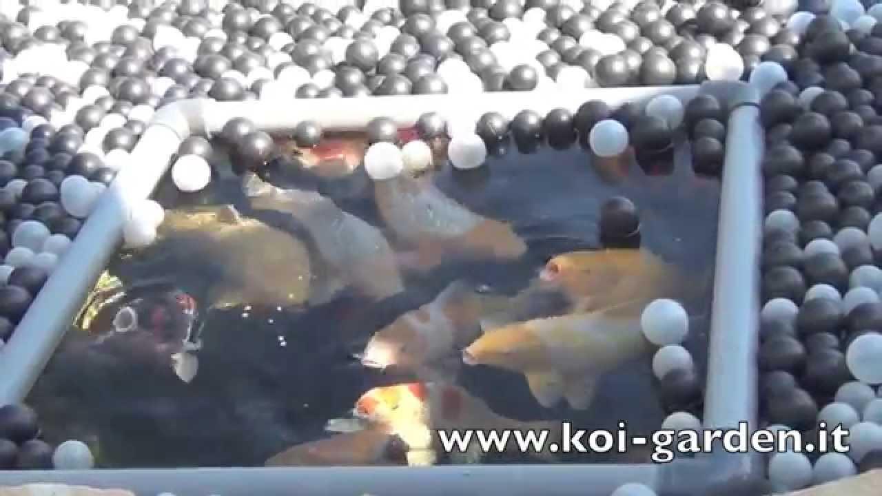 Koi garden italia preparazione del laghetto koi per l for Vendita koi