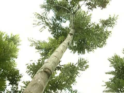 Reportagem da TV Alterosa sobre a cultura do Cedro Australiano