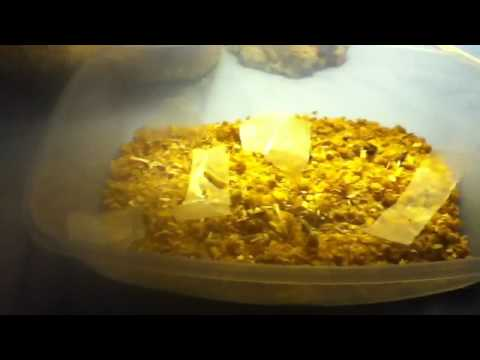How to breed wax worms and mealworms