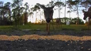 Florida deer in 360 degrees
