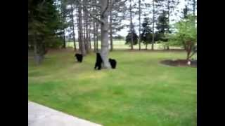 Black bears in Northern Michigan
