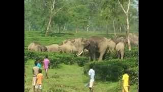 HATI elephant herd tea gardens near Malbazar