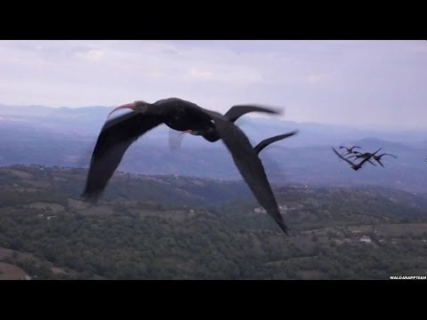 WHY BIRDS FLY IN A 'V' FORMATION ? BBC NEWS