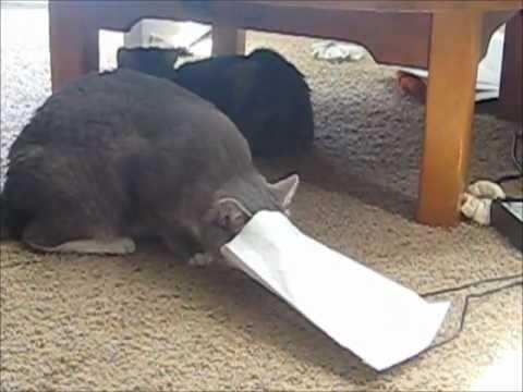 Fat Cat Fail Fat Cat Fail