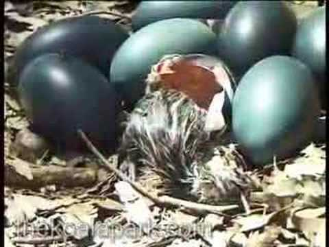 emu egg hatching in the bush youtube