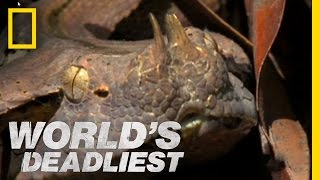 Six-Foot Snake Ambushes Prey | World's Deadliest