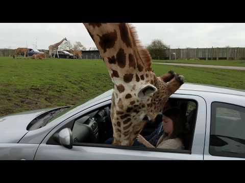 Giraffe's head gets trapped inside a car window!