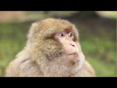 an overview of the chacma baboon a type of carnivore mammal Learn more about the chacma baboon - with amazing chacma baboon videos,   description previously considered a subspecies of the 'savanna baboon',  papio  to african mammals: including hoofed mammals, carnivores, primates.