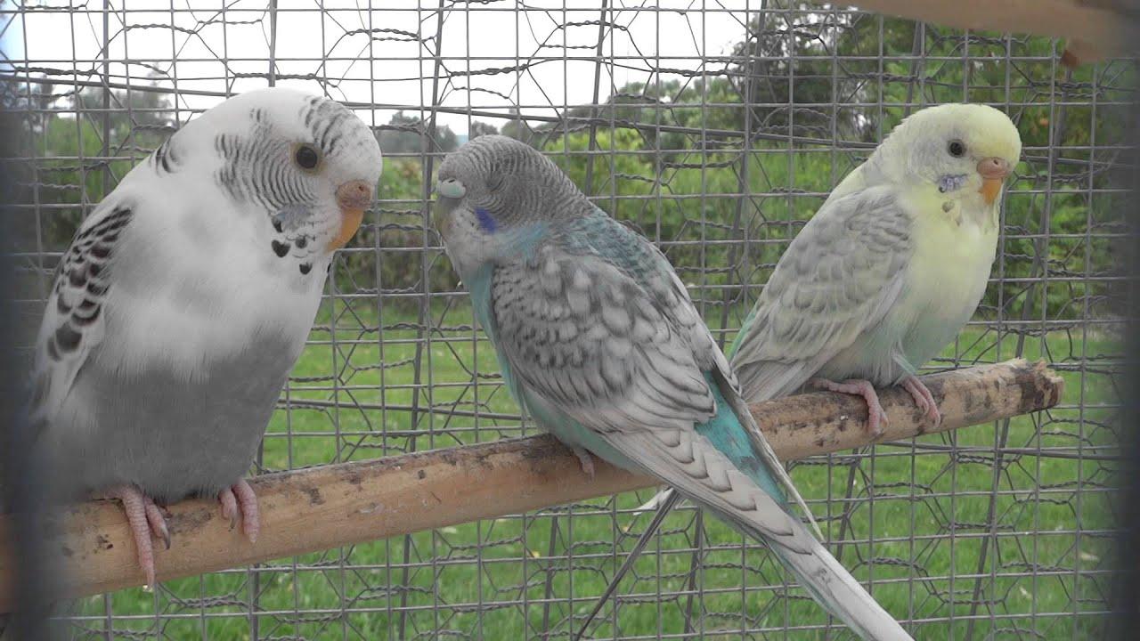 Blue Budgie Parakeet Budgie/parakeet Kesha