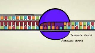 DNA transcription & pre-mRNA processing