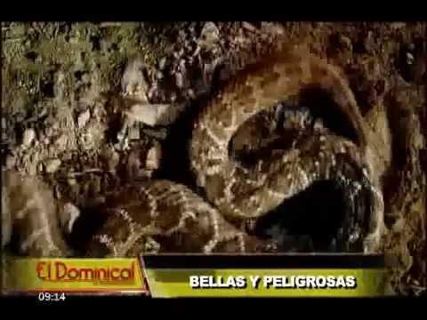 Bellas y peligrosas: conozca todo sobre las serpientes más venenosas del mundo