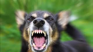 Ouça o som de um cachorro latindo