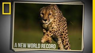 Cincinnati Zoo Cheetah Sets New World Speed Record in 100 Meter Run