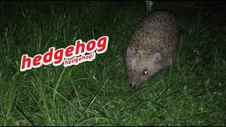 hedgehog hedgehog !