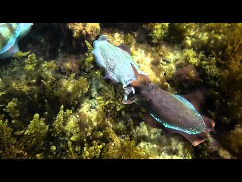 Cuttlefish, desalination, desal, conservation, giant cuttlefish, underwater, marine, reef, habitat, development, sustainability, green, politics, environment, science, biology, marine biology, cephalopods, octopus, squid, snapper, sweep, globe fish, mating, breeding, vulnerable, salinity, whyalla, point lowly, pt lowly, port bonython, black point, backy point, stoney point, spencer gulf, sepia apama, Australia, Panasonic, FT1, panasonic FT1, swimming, wierd, diving